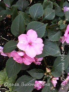 Добрый вечер дорогие мастера и мастерицы! Я снова к вам с красотой лета-цветами. Хочу показать вам сегодня свои небольшие коллекции бальзаминов и гераней, которые я на протяжении нескольких лет выращиваю из семян фото 22