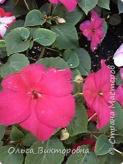 Добрый вечер дорогие мастера и мастерицы! Я снова к вам с красотой лета-цветами. Хочу показать вам сегодня свои небольшие коллекции бальзаминов и гераней, которые я на протяжении нескольких лет выращиваю из семян фото 23