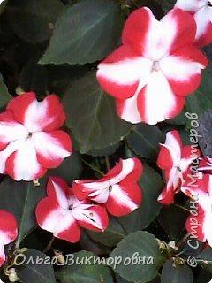 Добрый вечер дорогие мастера и мастерицы! Я снова к вам с красотой лета-цветами. Хочу показать вам сегодня свои небольшие коллекции бальзаминов и гераней, которые я на протяжении нескольких лет выращиваю из семян фото 24