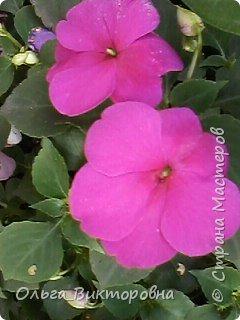Добрый вечер дорогие мастера и мастерицы! Я снова к вам с красотой лета-цветами. Хочу показать вам сегодня свои небольшие коллекции бальзаминов и гераней, которые я на протяжении нескольких лет выращиваю из семян фото 25