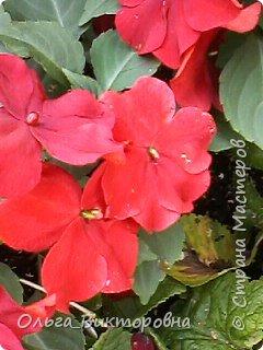 Добрый вечер дорогие мастера и мастерицы! Я снова к вам с красотой лета-цветами. Хочу показать вам сегодня свои небольшие коллекции бальзаминов и гераней, которые я на протяжении нескольких лет выращиваю из семян фото 26