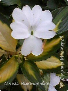 Добрый вечер дорогие мастера и мастерицы! Я снова к вам с красотой лета-цветами. Хочу показать вам сегодня свои небольшие коллекции бальзаминов и гераней, которые я на протяжении нескольких лет выращиваю из семян фото 27
