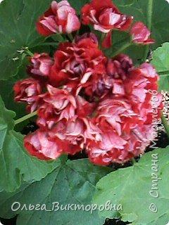 Добрый вечер дорогие мастера и мастерицы! Я снова к вам с красотой лета-цветами. Хочу показать вам сегодня свои небольшие коллекции бальзаминов и гераней, которые я на протяжении нескольких лет выращиваю из семян фото 2