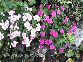 Добрый вечер дорогие мастера и мастерицы! Я снова к вам с красотой лета-цветами. Хочу показать вам сегодня свои небольшие коллекции бальзаминов и гераней, которые я на протяжении нескольких лет выращиваю из семян фото 19