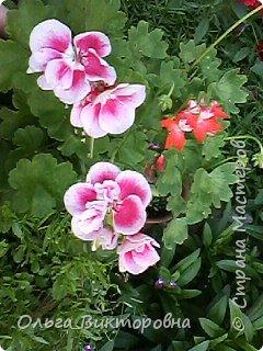 Добрый вечер дорогие мастера и мастерицы! Я снова к вам с красотой лета-цветами. Хочу показать вам сегодня свои небольшие коллекции бальзаминов и гераней, которые я на протяжении нескольких лет выращиваю из семян фото 11