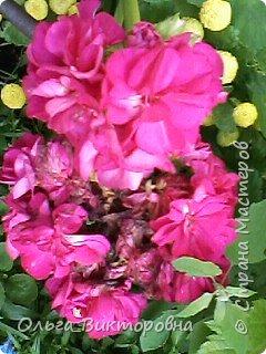 Добрый вечер дорогие мастера и мастерицы! Я снова к вам с красотой лета-цветами. Хочу показать вам сегодня свои небольшие коллекции бальзаминов и гераней, которые я на протяжении нескольких лет выращиваю из семян фото 4