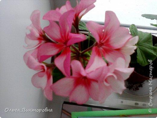 Добрый вечер дорогие мастера и мастерицы! Я снова к вам с красотой лета-цветами. Хочу показать вам сегодня свои небольшие коллекции бальзаминов и гераней, которые я на протяжении нескольких лет выращиваю из семян фото 6