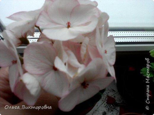 Добрый вечер дорогие мастера и мастерицы! Я снова к вам с красотой лета-цветами. Хочу показать вам сегодня свои небольшие коллекции бальзаминов и гераней, которые я на протяжении нескольких лет выращиваю из семян фото 9