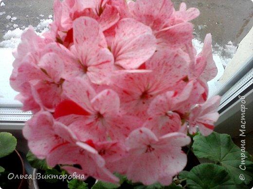 Добрый вечер дорогие мастера и мастерицы! Я снова к вам с красотой лета-цветами. Хочу показать вам сегодня свои небольшие коллекции бальзаминов и гераней, которые я на протяжении нескольких лет выращиваю из семян фото 8