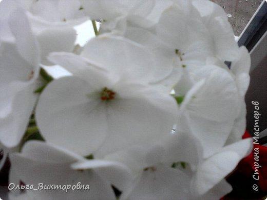 Добрый вечер дорогие мастера и мастерицы! Я снова к вам с красотой лета-цветами. Хочу показать вам сегодня свои небольшие коллекции бальзаминов и гераней, которые я на протяжении нескольких лет выращиваю из семян фото 7