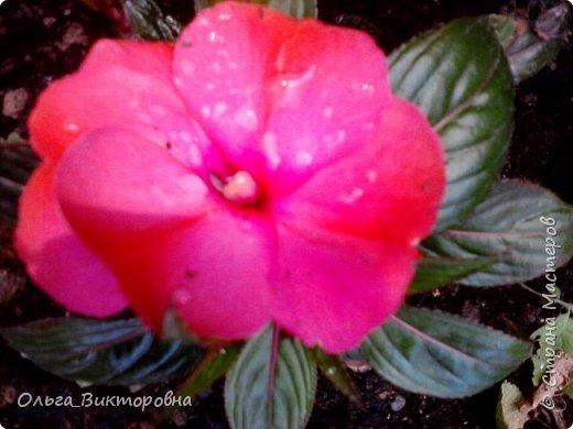 Добрый вечер дорогие мастера и мастерицы! Я снова к вам с красотой лета-цветами. Хочу показать вам сегодня свои небольшие коллекции бальзаминов и гераней, которые я на протяжении нескольких лет выращиваю из семян фото 28