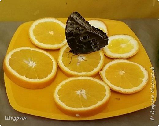 Вот такая красота к нам прилетела на о.Сахалин. Все бабочки рождены на нашем острове из привезенных куколок. После экскурсии мы узнали, что бабочки обжоры и могут сесть столько нектара, что не могут взлететь. фото 1