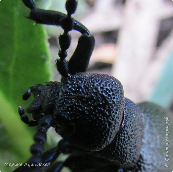 Я безумно радуюсь тому, что мои дети научились замечать окружающий их живой и красивый мир! Мир животных, мир растений и мир насекомых! Вот о нашем  мире насекомых, который мы с большим интересом начинаем изучать, я бы хотела сегодня рассказать...  Изучаем как?  - просто присмотримся, если удастся сфотографировать, сфотографируем, а потом придём домой и давай искать информацию...А бывает и такое, что возьмём домой таракашечку-букашечку... Ухаживаем за ней , кормим, наблюдаем, а потом отпускаем... А бывает и такое, что даже привыкнем к этому насекомышу, отпускаем на волю, а сами рыдаем...   фото 3