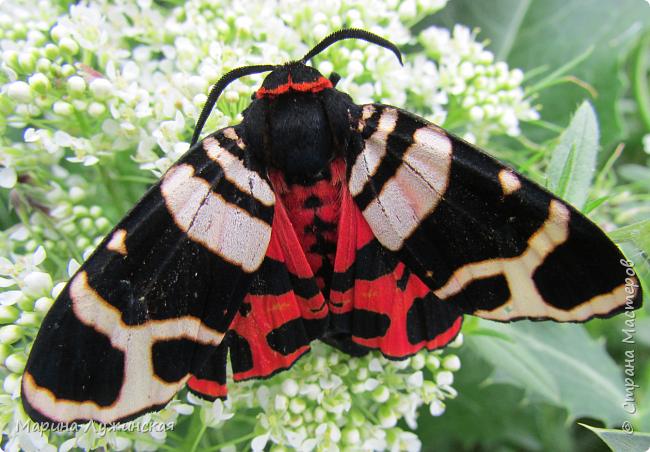 Я безумно радуюсь тому, что мои дети научились замечать окружающий их живой и красивый мир! Мир животных, мир растений и мир насекомых! Вот о нашем  мире насекомых, который мы с большим интересом начинаем изучать, я бы хотела сегодня рассказать...  Изучаем как?  - просто присмотримся, если удастся сфотографировать, сфотографируем, а потом придём домой и давай искать информацию...А бывает и такое, что возьмём домой таракашечку-букашечку... Ухаживаем за ней , кормим, наблюдаем, а потом отпускаем... А бывает и такое, что даже привыкнем к этому насекомышу, отпускаем на волю, а сами рыдаем...   фото 16
