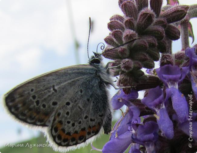 Я безумно радуюсь тому, что мои дети научились замечать окружающий их живой и красивый мир! Мир животных, мир растений и мир насекомых! Вот о нашем  мире насекомых, который мы с большим интересом начинаем изучать, я бы хотела сегодня рассказать...  Изучаем как?  - просто присмотримся, если удастся сфотографировать, сфотографируем, а потом придём домой и давай искать информацию...А бывает и такое, что возьмём домой таракашечку-букашечку... Ухаживаем за ней , кормим, наблюдаем, а потом отпускаем... А бывает и такое, что даже привыкнем к этому насекомышу, отпускаем на волю, а сами рыдаем...   фото 15