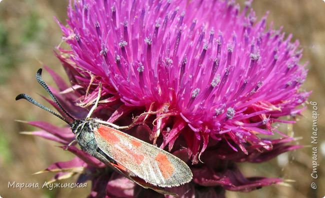 Я безумно радуюсь тому, что мои дети научились замечать окружающий их живой и красивый мир! Мир животных, мир растений и мир насекомых! Вот о нашем  мире насекомых, который мы с большим интересом начинаем изучать, я бы хотела сегодня рассказать...  Изучаем как?  - просто присмотримся, если удастся сфотографировать, сфотографируем, а потом придём домой и давай искать информацию...А бывает и такое, что возьмём домой таракашечку-букашечку... Ухаживаем за ней , кормим, наблюдаем, а потом отпускаем... А бывает и такое, что даже привыкнем к этому насекомышу, отпускаем на волю, а сами рыдаем...   фото 17