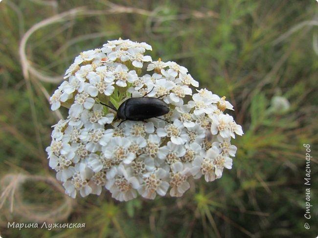 Я безумно радуюсь тому, что мои дети научились замечать окружающий их живой и красивый мир! Мир животных, мир растений и мир насекомых! Вот о нашем  мире насекомых, который мы с большим интересом начинаем изучать, я бы хотела сегодня рассказать...  Изучаем как?  - просто присмотримся, если удастся сфотографировать, сфотографируем, а потом придём домой и давай искать информацию...А бывает и такое, что возьмём домой таракашечку-букашечку... Ухаживаем за ней , кормим, наблюдаем, а потом отпускаем... А бывает и такое, что даже привыкнем к этому насекомышу, отпускаем на волю, а сами рыдаем...   фото 11