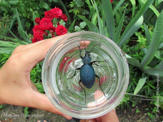 Я безумно радуюсь тому, что мои дети научились замечать окружающий их живой и красивый мир! Мир животных, мир растений и мир насекомых! Вот о нашем  мире насекомых, который мы с большим интересом начинаем изучать, я бы хотела сегодня рассказать...  Изучаем как?  - просто присмотримся, если удастся сфотографировать, сфотографируем, а потом придём домой и давай искать информацию...А бывает и такое, что возьмём домой таракашечку-букашечку... Ухаживаем за ней , кормим, наблюдаем, а потом отпускаем... А бывает и такое, что даже привыкнем к этому насекомышу, отпускаем на волю, а сами рыдаем...   фото 4
