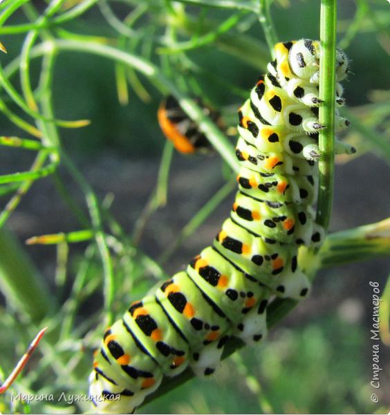 Я безумно радуюсь тому, что мои дети научились замечать окружающий их живой и красивый мир! Мир животных, мир растений и мир насекомых! Вот о нашем  мире насекомых, который мы с большим интересом начинаем изучать, я бы хотела сегодня рассказать...  Изучаем как?  - просто присмотримся, если удастся сфотографировать, сфотографируем, а потом придём домой и давай искать информацию...А бывает и такое, что возьмём домой таракашечку-букашечку... Ухаживаем за ней , кормим, наблюдаем, а потом отпускаем... А бывает и такое, что даже привыкнем к этому насекомышу, отпускаем на волю, а сами рыдаем...   фото 23