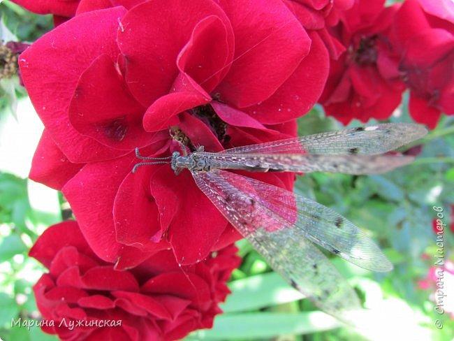Я безумно радуюсь тому, что мои дети научились замечать окружающий их живой и красивый мир! Мир животных, мир растений и мир насекомых! Вот о нашем  мире насекомых, который мы с большим интересом начинаем изучать, я бы хотела сегодня рассказать...  Изучаем как?  - просто присмотримся, если удастся сфотографировать, сфотографируем, а потом придём домой и давай искать информацию...А бывает и такое, что возьмём домой таракашечку-букашечку... Ухаживаем за ней , кормим, наблюдаем, а потом отпускаем... А бывает и такое, что даже привыкнем к этому насекомышу, отпускаем на волю, а сами рыдаем...   фото 5
