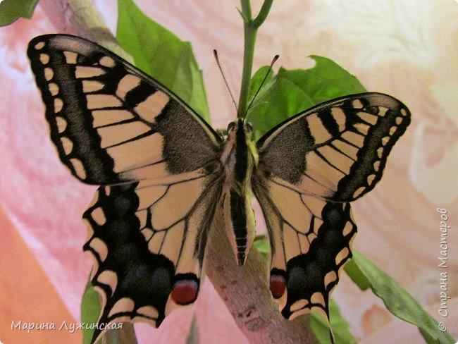 Я безумно радуюсь тому, что мои дети научились замечать окружающий их живой и красивый мир! Мир животных, мир растений и мир насекомых! Вот о нашем  мире насекомых, который мы с большим интересом начинаем изучать, я бы хотела сегодня рассказать...  Изучаем как?  - просто присмотримся, если удастся сфотографировать, сфотографируем, а потом придём домой и давай искать информацию...А бывает и такое, что возьмём домой таракашечку-букашечку... Ухаживаем за ней , кормим, наблюдаем, а потом отпускаем... А бывает и такое, что даже привыкнем к этому насекомышу, отпускаем на волю, а сами рыдаем...   фото 25