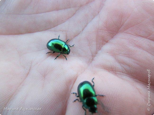 Я безумно радуюсь тому, что мои дети научились замечать окружающий их живой и красивый мир! Мир животных, мир растений и мир насекомых! Вот о нашем  мире насекомых, который мы с большим интересом начинаем изучать, я бы хотела сегодня рассказать...  Изучаем как?  - просто присмотримся, если удастся сфотографировать, сфотографируем, а потом придём домой и давай искать информацию...А бывает и такое, что возьмём домой таракашечку-букашечку... Ухаживаем за ней , кормим, наблюдаем, а потом отпускаем... А бывает и такое, что даже привыкнем к этому насекомышу, отпускаем на волю, а сами рыдаем...   фото 12