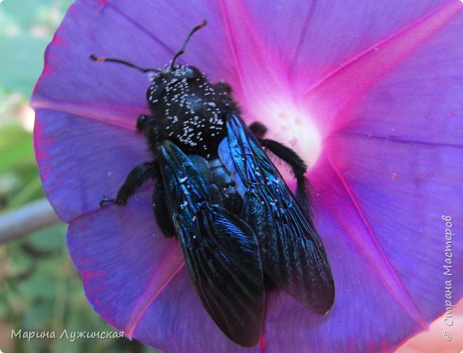 Я безумно радуюсь тому, что мои дети научились замечать окружающий их живой и красивый мир! Мир животных, мир растений и мир насекомых! Вот о нашем  мире насекомых, который мы с большим интересом начинаем изучать, я бы хотела сегодня рассказать...  Изучаем как?  - просто присмотримся, если удастся сфотографировать, сфотографируем, а потом придём домой и давай искать информацию...А бывает и такое, что возьмём домой таракашечку-букашечку... Ухаживаем за ней , кормим, наблюдаем, а потом отпускаем... А бывает и такое, что даже привыкнем к этому насекомышу, отпускаем на волю, а сами рыдаем...   фото 36