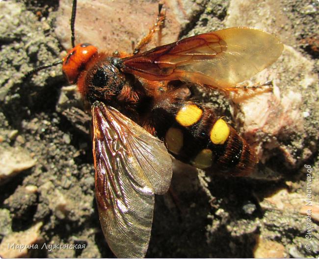 Я безумно радуюсь тому, что мои дети научились замечать окружающий их живой и красивый мир! Мир животных, мир растений и мир насекомых! Вот о нашем  мире насекомых, который мы с большим интересом начинаем изучать, я бы хотела сегодня рассказать...  Изучаем как?  - просто присмотримся, если удастся сфотографировать, сфотографируем, а потом придём домой и давай искать информацию...А бывает и такое, что возьмём домой таракашечку-букашечку... Ухаживаем за ней , кормим, наблюдаем, а потом отпускаем... А бывает и такое, что даже привыкнем к этому насекомышу, отпускаем на волю, а сами рыдаем...   фото 20
