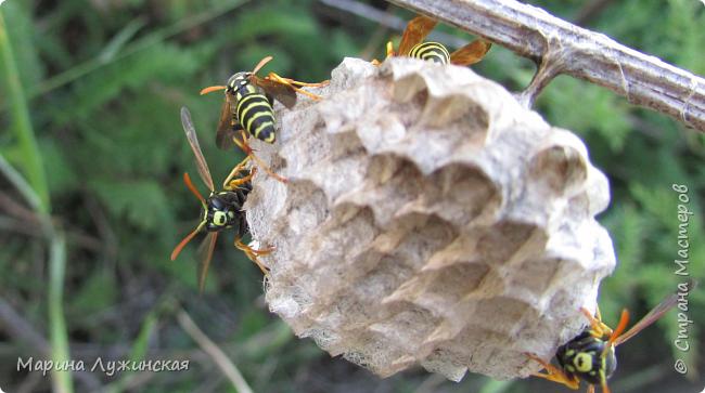 Я безумно радуюсь тому, что мои дети научились замечать окружающий их живой и красивый мир! Мир животных, мир растений и мир насекомых! Вот о нашем  мире насекомых, который мы с большим интересом начинаем изучать, я бы хотела сегодня рассказать...  Изучаем как?  - просто присмотримся, если удастся сфотографировать, сфотографируем, а потом придём домой и давай искать информацию...А бывает и такое, что возьмём домой таракашечку-букашечку... Ухаживаем за ней , кормим, наблюдаем, а потом отпускаем... А бывает и такое, что даже привыкнем к этому насекомышу, отпускаем на волю, а сами рыдаем...   фото 19