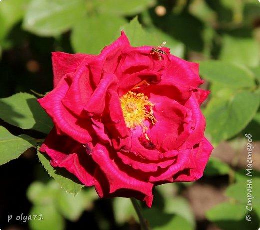Здравствуйте!!!! И опять немного фотографий цветов)) фото 22