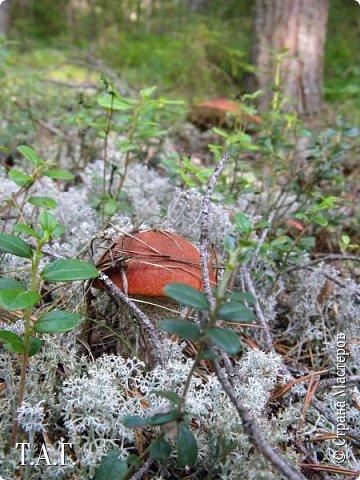"""Вдохновленная вчерашней поездкой за грибами, решила не откладывать в дальний ящик  и """"похвастать"""" добычей тихой охоты. Вечером после работы на машине отправились """"по губы"""" (так в наших местах называют грибы) Перед Вами, дорогие читатели, первый гриб, что нашла. Названий несколько: белый, толстокореник, коровенник, боровик. фото 14"""