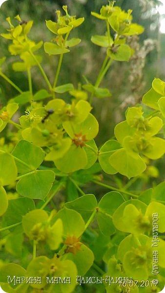 Лето бывает разное... Зелёное и красное, Жаркое, дождливое, Но всегда счастливое!(только что придумалось))) Мой сладкий горошек. фото 8