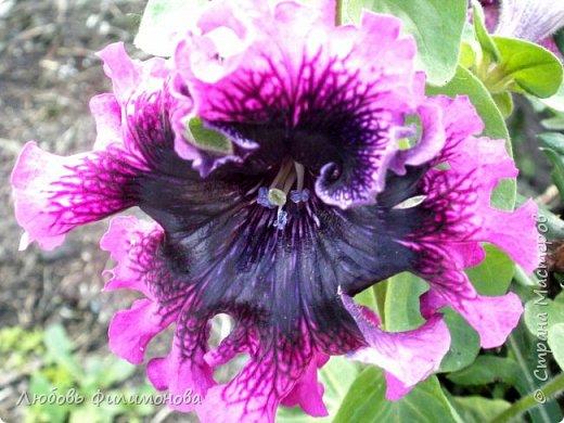 Как не печально, но до конца лета осталось чуть меньше двух недель. Уже второй год оно не радует наш край теплом, часто шли дожди. Но все равно так жаль с ним расставаться. Я хочу пригласить вас в гости, прогуляться по моему саду, полюбоваться цветами. Королева сада - роза, самый узнаваемый и любимый цветок. фото 28