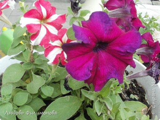 Как не печально, но до конца лета осталось чуть меньше двух недель. Уже второй год оно не радует наш край теплом, часто шли дожди. Но все равно так жаль с ним расставаться. Я хочу пригласить вас в гости, прогуляться по моему саду, полюбоваться цветами. Королева сада - роза, самый узнаваемый и любимый цветок. фото 31