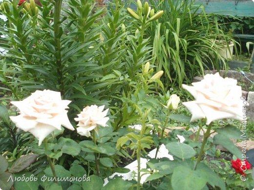 Как не печально, но до конца лета осталось чуть меньше двух недель. Уже второй год оно не радует наш край теплом, часто шли дожди. Но все равно так жаль с ним расставаться. Я хочу пригласить вас в гости, прогуляться по моему саду, полюбоваться цветами. Королева сада - роза, самый узнаваемый и любимый цветок. фото 7