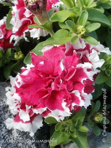 Как не печально, но до конца лета осталось чуть меньше двух недель. Уже второй год оно не радует наш край теплом, часто шли дожди. Но все равно так жаль с ним расставаться. Я хочу пригласить вас в гости, прогуляться по моему саду, полюбоваться цветами. Королева сада - роза, самый узнаваемый и любимый цветок. фото 29