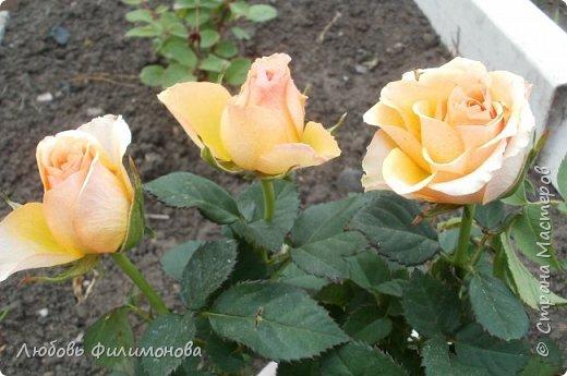 Как не печально, но до конца лета осталось чуть меньше двух недель. Уже второй год оно не радует наш край теплом, часто шли дожди. Но все равно так жаль с ним расставаться. Я хочу пригласить вас в гости, прогуляться по моему саду, полюбоваться цветами. Королева сада - роза, самый узнаваемый и любимый цветок. фото 6