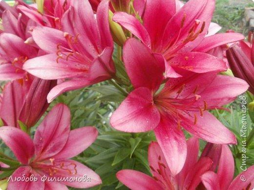 Как не печально, но до конца лета осталось чуть меньше двух недель. Уже второй год оно не радует наш край теплом, часто шли дожди. Но все равно так жаль с ним расставаться. Я хочу пригласить вас в гости, прогуляться по моему саду, полюбоваться цветами. Королева сада - роза, самый узнаваемый и любимый цветок. фото 9