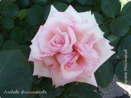 Как не печально, но до конца лета осталось чуть меньше двух недель. Уже второй год оно не радует наш край теплом, часто шли дожди. Но все равно так жаль с ним расставаться. Я хочу пригласить вас в гости, прогуляться по моему саду, полюбоваться цветами. Королева сада - роза, самый узнаваемый и любимый цветок. фото 5