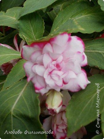 Как не печально, но до конца лета осталось чуть меньше двух недель. Уже второй год оно не радует наш край теплом, часто шли дожди. Но все равно так жаль с ним расставаться. Я хочу пригласить вас в гости, прогуляться по моему саду, полюбоваться цветами. Королева сада - роза, самый узнаваемый и любимый цветок. фото 43