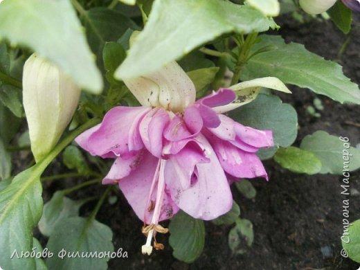 Как не печально, но до конца лета осталось чуть меньше двух недель. Уже второй год оно не радует наш край теплом, часто шли дожди. Но все равно так жаль с ним расставаться. Я хочу пригласить вас в гости, прогуляться по моему саду, полюбоваться цветами. Королева сада - роза, самый узнаваемый и любимый цветок. фото 12