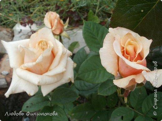 Как не печально, но до конца лета осталось чуть меньше двух недель. Уже второй год оно не радует наш край теплом, часто шли дожди. Но все равно так жаль с ним расставаться. Я хочу пригласить вас в гости, прогуляться по моему саду, полюбоваться цветами. Королева сада - роза, самый узнаваемый и любимый цветок. фото 4