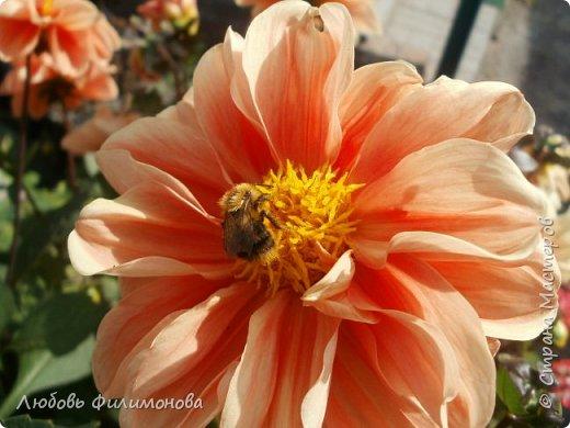 Как не печально, но до конца лета осталось чуть меньше двух недель. Уже второй год оно не радует наш край теплом, часто шли дожди. Но все равно так жаль с ним расставаться. Я хочу пригласить вас в гости, прогуляться по моему саду, полюбоваться цветами. Королева сада - роза, самый узнаваемый и любимый цветок. фото 19