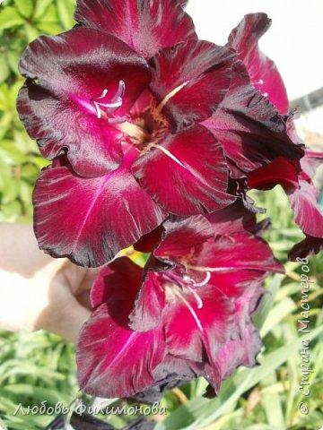 Как не печально, но до конца лета осталось чуть меньше двух недель. Уже второй год оно не радует наш край теплом, часто шли дожди. Но все равно так жаль с ним расставаться. Я хочу пригласить вас в гости, прогуляться по моему саду, полюбоваться цветами. Королева сада - роза, самый узнаваемый и любимый цветок. фото 20