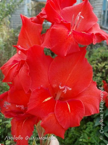 Как не печально, но до конца лета осталось чуть меньше двух недель. Уже второй год оно не радует наш край теплом, часто шли дожди. Но все равно так жаль с ним расставаться. Я хочу пригласить вас в гости, прогуляться по моему саду, полюбоваться цветами. Королева сада - роза, самый узнаваемый и любимый цветок. фото 21