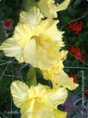 Как не печально, но до конца лета осталось чуть меньше двух недель. Уже второй год оно не радует наш край теплом, часто шли дожди. Но все равно так жаль с ним расставаться. Я хочу пригласить вас в гости, прогуляться по моему саду, полюбоваться цветами. Королева сада - роза, самый узнаваемый и любимый цветок. фото 22