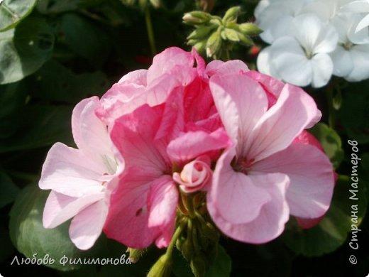 Как не печально, но до конца лета осталось чуть меньше двух недель. Уже второй год оно не радует наш край теплом, часто шли дожди. Но все равно так жаль с ним расставаться. Я хочу пригласить вас в гости, прогуляться по моему саду, полюбоваться цветами. Королева сада - роза, самый узнаваемый и любимый цветок. фото 18