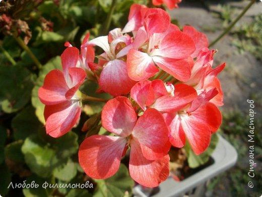 Как не печально, но до конца лета осталось чуть меньше двух недель. Уже второй год оно не радует наш край теплом, часто шли дожди. Но все равно так жаль с ним расставаться. Я хочу пригласить вас в гости, прогуляться по моему саду, полюбоваться цветами. Королева сада - роза, самый узнаваемый и любимый цветок. фото 17