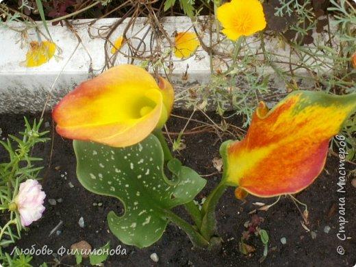 Как не печально, но до конца лета осталось чуть меньше двух недель. Уже второй год оно не радует наш край теплом, часто шли дожди. Но все равно так жаль с ним расставаться. Я хочу пригласить вас в гости, прогуляться по моему саду, полюбоваться цветами. Королева сада - роза, самый узнаваемый и любимый цветок. фото 39