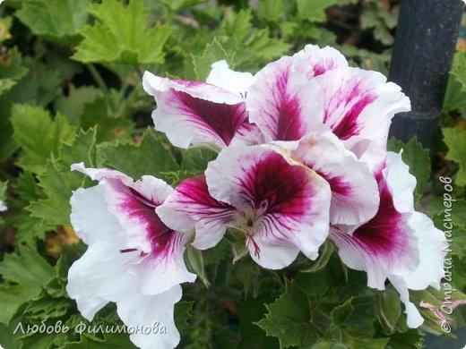 Как не печально, но до конца лета осталось чуть меньше двух недель. Уже второй год оно не радует наш край теплом, часто шли дожди. Но все равно так жаль с ним расставаться. Я хочу пригласить вас в гости, прогуляться по моему саду, полюбоваться цветами. Королева сада - роза, самый узнаваемый и любимый цветок. фото 16